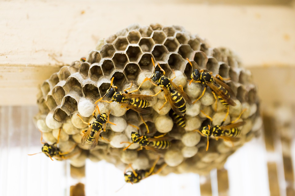 Rise In Wasp Control Caused By Hot Summer